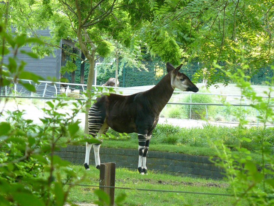 13-Zoo-Okapi